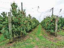 """L'entreprise d'Alexis Hervé cultive des vergers produisant des pommes """"industrie"""" et des pommes à couteau."""