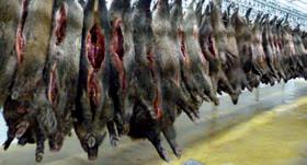 Les sangliers que découpe Villette Viandes ont été chassés dans de nombreux pays européens.