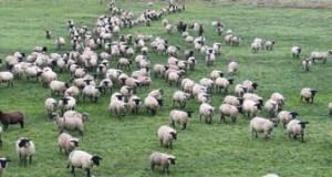 Les agneaux prés-salés de la baie de Somme pâturent 75 jours avant d'être abattus.