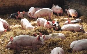 La Charcuterie Richard travaille uniquement à partir de porcs français frais.