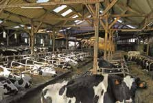 Le cheptel laitier picard représente 3,5% de l'ensemble du troupeau français***.