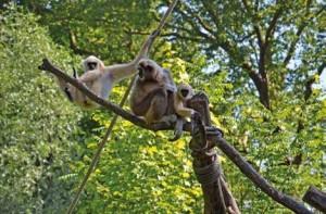 Toujours dans les bras de sa mère, le petit gibbon fascine de nombreux visiteurs.