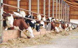 L'exploitation laitière moyenne dans le bassin comprend une cinquantaine de vaches, un nombre proche de la moyenne française.